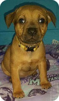 Detroit, MI - Boxer/Shepherd (Unknown Type) Mix. Meet Serenade, a puppy for adoption. http://www.adoptapet.com/pet/15067783-detroit-michigan-boxer-mix