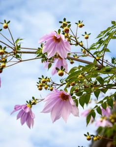 Dahlia imperialis Seeds £2.95 from Chiltern Seeds - Chiltern Seeds Secure Online Seed Catalogue and Shop