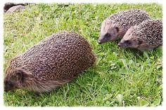 Little Hogs Hedgehogs - Wild hedgehog care