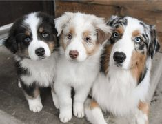 Discover The Work-Oriented Australian Shepherd Puppies Personality Australian Shepherd Puppies, Aussie Puppies, Puggle Puppies, Puppy Husky, Mini Australian Shepherds, Aussie Shepherd, Australian Labradoodle, Teacup Puppies, Maltese Dogs