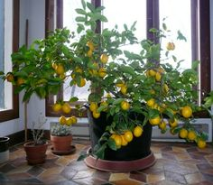 Dwarf meyer lemon tree can be grown hydroponically