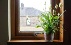 Graceful Peace Lilies Can Even Survive in a Windowless Room