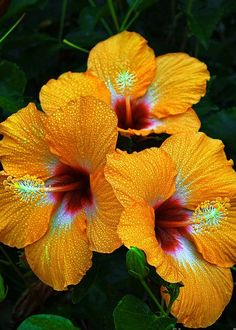 ~~Trinity | a trio of tropical hibiscus | by Eric Evans~~