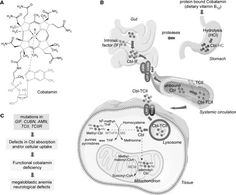 Cobalamin (cbl) absorption and metabolic pathway - Warning: Potentially Life Threatening Vitamin Deficiency Affects 25% of Adults