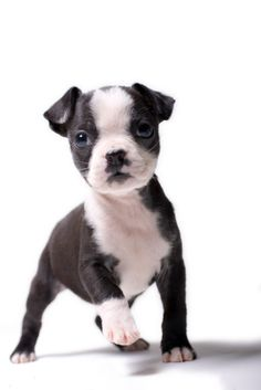 Boston Terrier. I want a doggie...