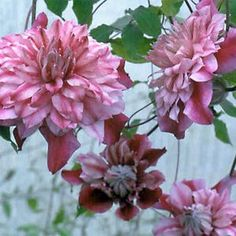 Buy Clematis Patricia Ann Fretwell Perennial Vines Online. Garden Crossings Online Garden Center offers a large selection of Clematis Plants. Shop our Online Vine catalog today!