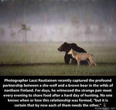 Susi ja karhu