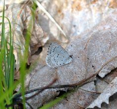 Celestrina ladon (Lycaenidae) 04/12, Chippewa Co.
