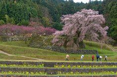 「時空トラベラー」 : 大宇陀に又兵衛桜を愛でに行く 〜阿騎野の里散策〜