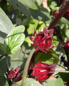 Florida Cranberry - Florida Survival Gardening: Survival Plant Profile