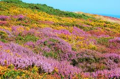 Heather (Calluna vulgaris) and Gorse (Ulex europaeus) growing along the cliff walk on Howth Head north of Dublin, Ireland. by fisherbay