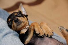 Be still my heart ❤️Min Pin/Chihuahua Mini Pinscher, Miniature Pinscher, Cute Chihuahua, Cute Puppies, Cute Dogs, Dogs And Puppies, Doggies, Animals And Pets, Baby Animals