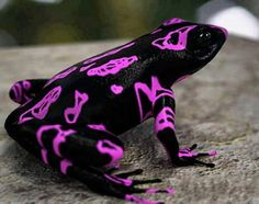 The Costa Rican Variable Harlequin Toad, also known as the clown frog