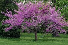 The Redbud Tree- one of the brightest trees you will see in the spring.  Yes, it is purple, but it is called Redbud.