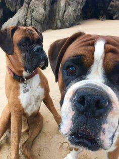 A frame full of Boxer boys! Ike always more intense and Henry aloof! Boxer And Baby, Boxer Love, Boxer Puppies, Dogs And Puppies, Doggies, Dog Photos, Dog Pictures, Forever Puppy, Picture Sharing