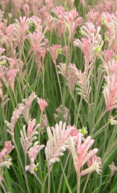 """Kanga paw"" Light Pink.  Family: Haemodoraceae  Genus: Anigozanthos   Species: manglesii   Tropicals and Tender Perennials.  Drought-tolerant; suitable for xeriscaping. Flowers are good for cutting.   Suitable for growing in containers.  Zone 9-11"
