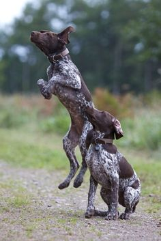Discover Curious German Shorthaired Pointer Puppies Exercise Needs Gsp Puppies, Pointer Puppies, Pointer Dog, I Love Dogs, Cute Dogs, German Shorthaired Pointer, German Shepherd Puppies, Hunting Dogs, Beautiful Dogs