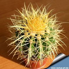 Echinocactus grusonii • Golden Barrel Cactus • Cactus/Succulent • Native to Rio Moctezuma Valley & Queretaro Central Mexico, vivid yellow flowers form a ring at the top on mature specimens during late spring through summer, summer growers, keep dry in winter, full sun to partial shade, hardy to 20 degrees