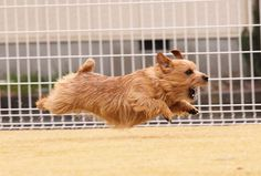 """NORFOLK TERRIER- This is exactly what my puppy looks like chasing the """"big dogs"""" at the dog park!!"""