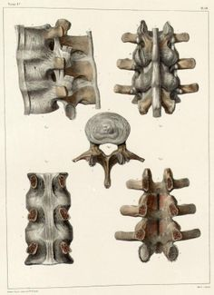 Lumbar+vertebrae+and+ligaments.jpg (594×819)