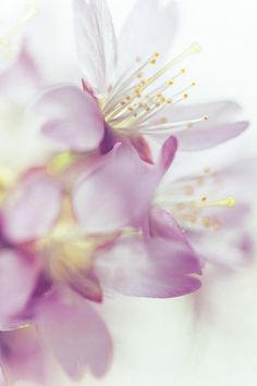 Jenny Rainbow Fine Art Photography Photograph - Softly Spoken. Spring Sakura Blossom by Jenny Rainbow