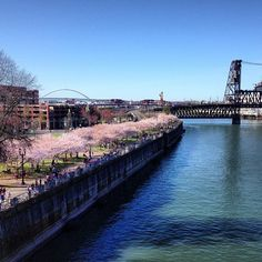 cherry blossoms on the waterfront
