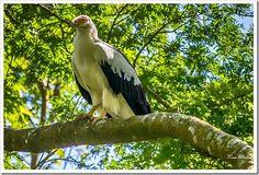 Palm Nut Vulture.... A rare sight. Honde Valley, Zimbabwe