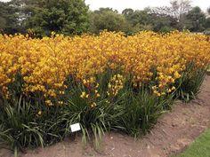 Tall Green Kangaroo Paw(Anigozanthos flavidus)150 Seeds Grafton House, Kangaroo Paw, Garden Beds, Seeds, Bulb, World, Green, Plants, Image