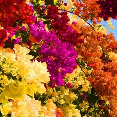 bougainvilleas in La Réunion, All Flowers, Exotic Flowers, Beautiful Flowers, Flower Background Wallpaper, Flower Backgrounds, Bougainvillea Trellis, Lily Bouquet Wedding, Bloom Where Youre Planted, Beautiful Landscape Wallpaper