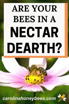 What does a nectar dearth mean to bees?  Is there anything the beekeeper can do to help bees during this time? #carolinahoneybees #nectardearth #beekeepingtips