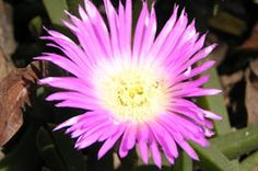 Forms very dense mats. Bright pink flowers in spring and early summer. Fruit is edible. Edible Plants, Summer Fruit, Native Plants, Bright Pink, Pink Flowers, Melbourne, Succulents, Wildlife, Spring