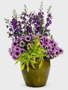 Purple angelonia, supertunia bordeaux, emerald lace sweet potato