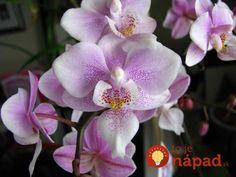 Pre všetkým, ktorým odkvitla orchidea: Toto je najjednoduchší, odskúšaný spôsob, ako ju opäť rozkvitnúť!
