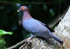 La paloma isleña (Patagioenas squamosa)
