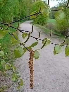 Betula pubescens - White birch - Hieskoivu (Puut ja pensaat - LuontoPortti)