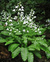 Pteridophyllum racemosum - a lovely, rare woodland plant that looks like a flowering fern but it's not. This is a unique evergreen perennial for the shade. Give it humus rich soil and a cool location.