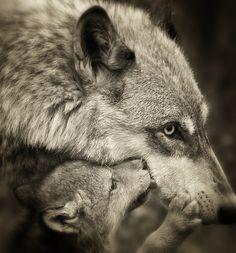 Momma and baby loup (Wolf) Wolf Spirit, Spirit Animal, Wolf Pictures, Animal Pictures, Nature Animals, Animals And Pets, Wild Animals, Beautiful Creatures, Animals Beautiful