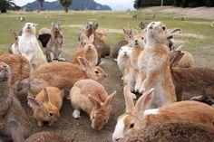 Okunoshima: l'île des lapins