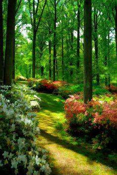 Azaleas In Bloom, Brighton Azalea Garden in Montgomery County, Maryland