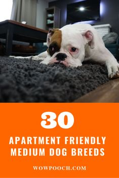 30 Top #Medium #Dog #Breeds For #Apartment Friendly #Lifestyle. Do you have a preference for #medium #breed over the normal selection of #small #breeds that do well in an #apartment? Well then, please feel free to read on as we go through a list of #apartment-friendly #medium #doggies.