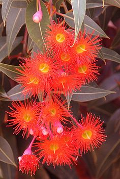 Flowering Gum Trees or Flowering Eucalypts include a wide range of species, some. - Flowering Gum Trees or Flowering Eucalypts include a wide range of species, some with large spectac -