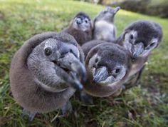 Baby African penguins - UPI.com