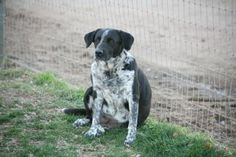 Poor sweet Adele was lost and found herself on the euthanasia list at the county shelter.  She was scared and then she got kennel cough.  That is all it took and she ended up on death row.  Adele loves everybody, she loves other dogs,and people. She...