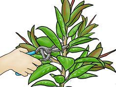 How to Grow a Rubber Tree -- via wikiHow.com