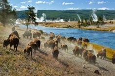 A herd of bison moves quickly along the Firehole River in Yellowstone National Park (near Midway Geyser Basin).