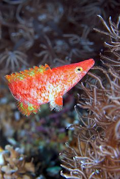Wrasse by PacificKlaus - Klaus Stiefel