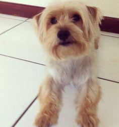 Schnorkie (Yorkshire Terrier and Miniature Schnauzer mix)