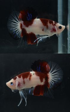 1000 images about fish keeping on pinterest betta for Male koi fish