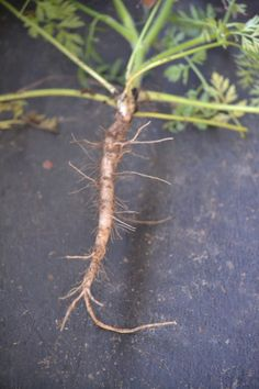 Roots to harvest in the fall: Queen Anne's Lace Root - Herbal Academy