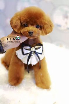 Asian cut on toy poodle Teacup Puppies, Cute Puppies, Corgi Puppies, Poodle Grooming, Pet Grooming, Poodle Haircut, Poodle Cuts, Red Poodles, Dog Haircuts